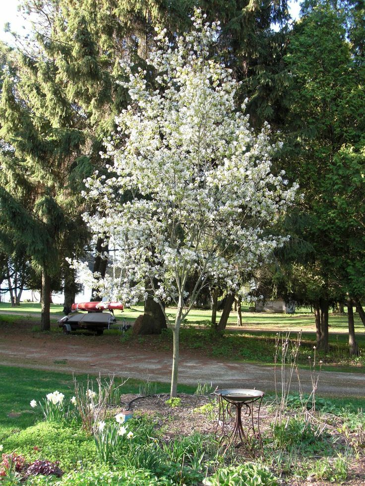 Serviceberry Tree Arvores Brancas Pinterest Trees
