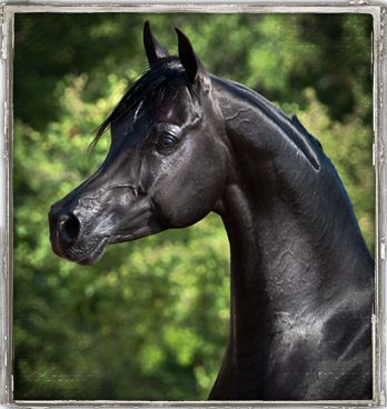 Bellagio RCA  Alixir x Rhapsody In Black  Egyptian Event EBC Champion & Junior Champion Colt  Scottsdale Top Ten Colt