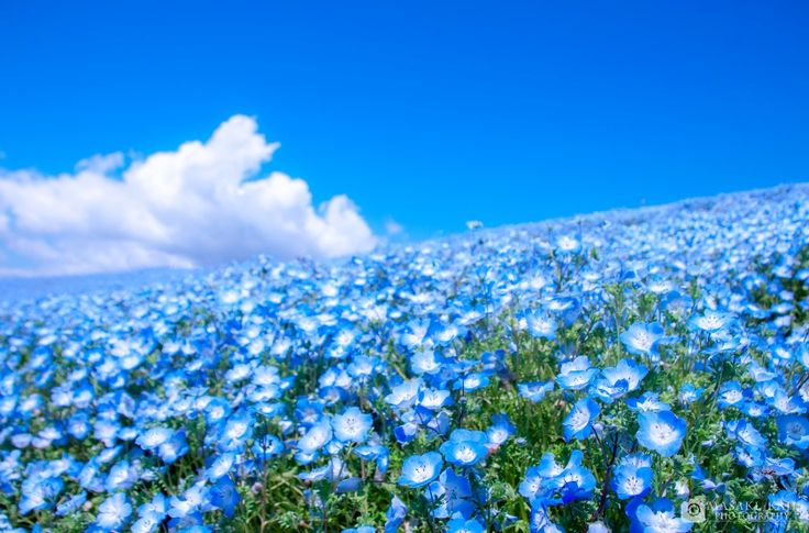 """茨城県ひたちなか市にある「国営ひたち海浜公園」は、四季折々の花が咲き乱れる花の絨毯が楽しめるフラワーパークです。どの季節でも美しい花が楽しめるのがひたち海浜公園の魅力ですが、なんといっても一番人気は4月下旬〜GWにかけて見頃を迎える""""ネモフィラ""""!真っ青なネモフィラが一面に咲き乱れるブルーの絨毯と、青空が繋がった絶景は圧巻です。"""