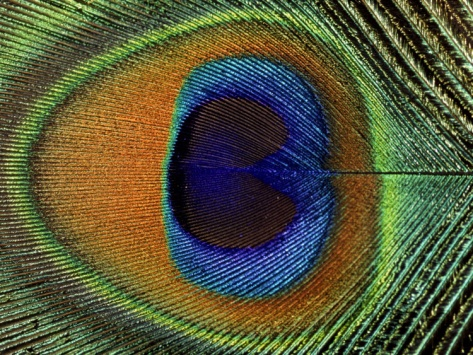 Close-Up of the Eye of a Peacock Feather, (Pavo Cristatus) by Ashok Jain. Premium poster from Art.com.