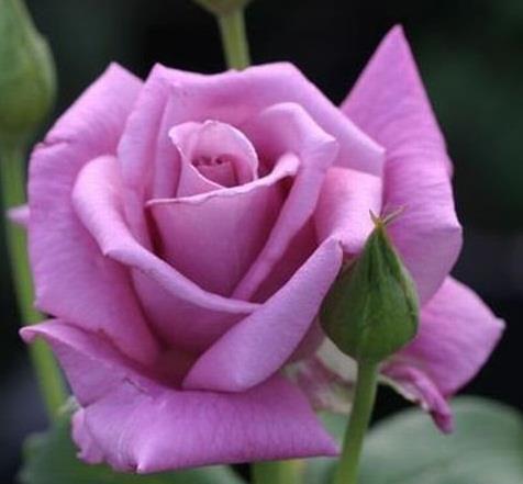 purple rose - Mini Roses Care Indoor