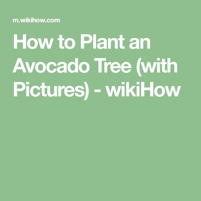 Best 25+ Avocado Tree Ideas On Pinterest