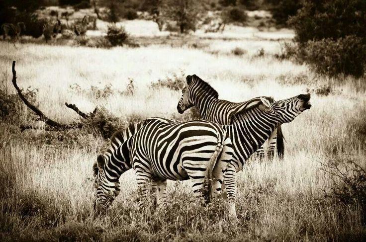 Sepia zebras