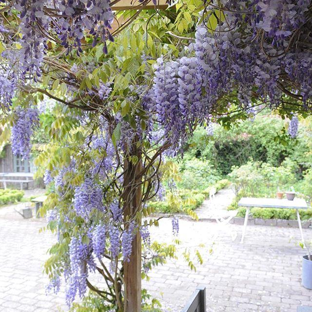 Absolutely gorgeous when in bloom! #wisteria #jettesgarden #gardenvisits #garden #gardening #gardendesign #jettefrölich #jettefroelich #danishdesign #have