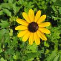 Black-eyed Susans: How to Plant, Grow, and Care for Black-eyed Susans by the Old Farmers Almanac