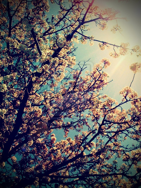 something about cherry blossoms