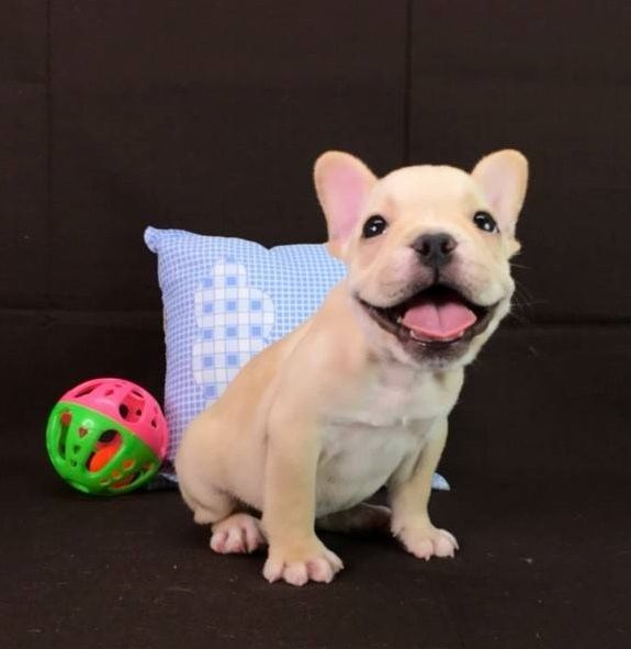 French Bulldog Puppy For Sale In San Francisco Ca Usa Adn 98609