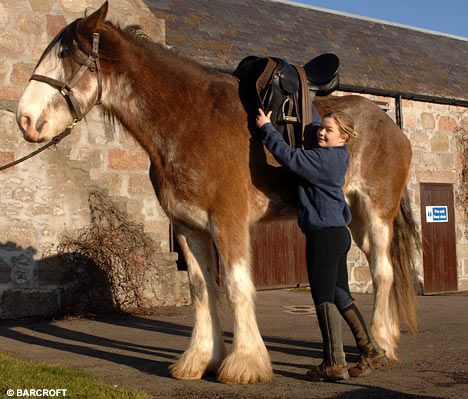 6ft 6ins and still growing... Digger the Clydesdale becomes ...