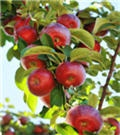 Dwarf Gala Apple Tree for Sale | Fast Growing Trees