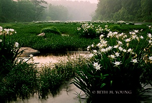 Cahaba River in Bibb County Alabama, the Cahaba Lily. This very biodiverse area is threatened by encroaching development and the Nature Conservancy is working with a wide range of partners to preserve the area for future generations.