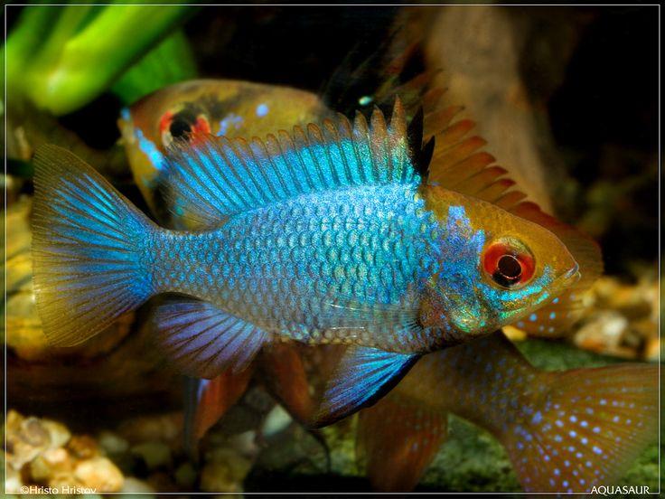 153 Best Ram Cichlids Images On Pinterest Fish Aquariums