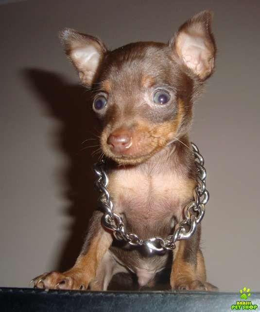 Pinscher miniatura pesquisa google pinscher puppies for Pinscher temperamento