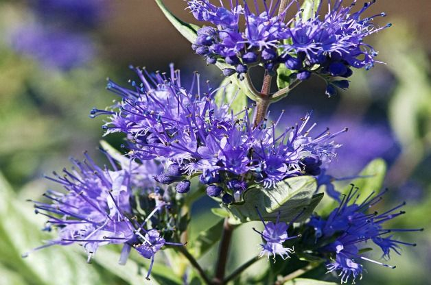 Top 10 Shrubs For Small Spaces Sapphire Surf Bluebeard 640 x 480