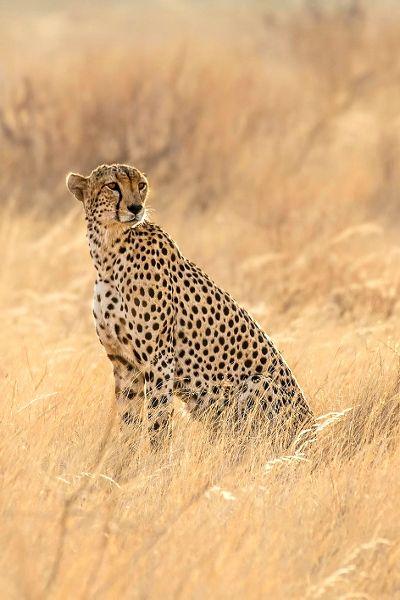 earthdaily:   Cheetah →Stefan Cruysbergh