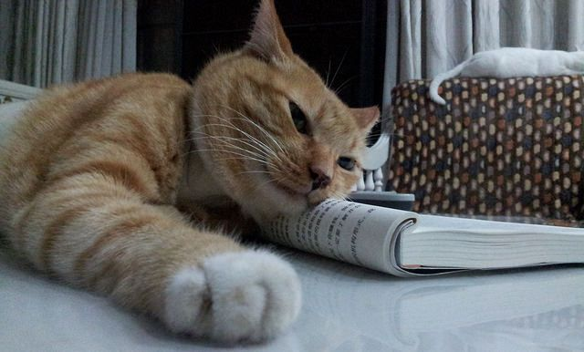 Ginger cat interfering with a vet's studying... Shenzhen China 2012  https://www.facebook.com/ACTAsiaForAnimals https://twitter.com/Tweet_ACTAsia https://www.youtube.com/user/ACTAsia1 http://www.oninstagram.com/profile/actasia https://www.linkedin.com/company/actasia-for-animals http://actasia.tumblr.com/