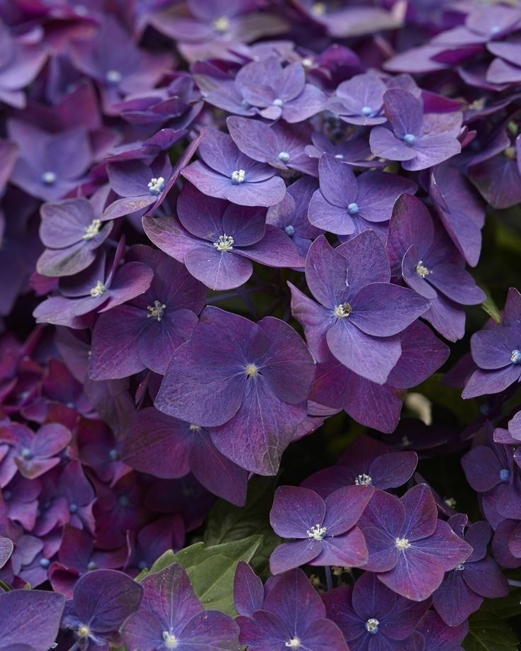 Hydrangea macrophylla 'Deep Purple' (one of the dwarf from European breeding last century - possibly Ami Pasquier by the white eye)