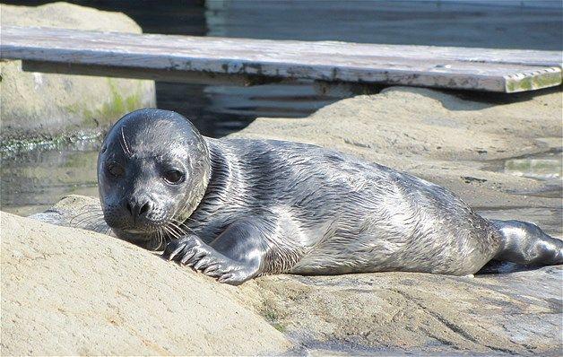 083 - La cría de foca Benji en el acuario Blue Reef de Tynemouth, el 10 de julio de 2013.