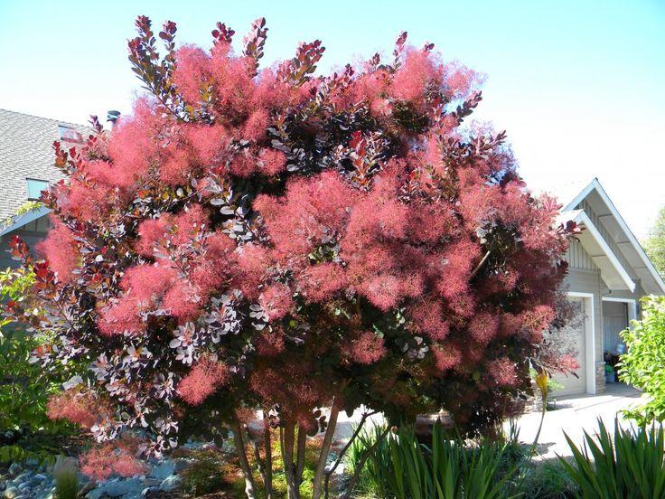 Smoke Tree Theeasygarden Smoke Tree Tree Pruning