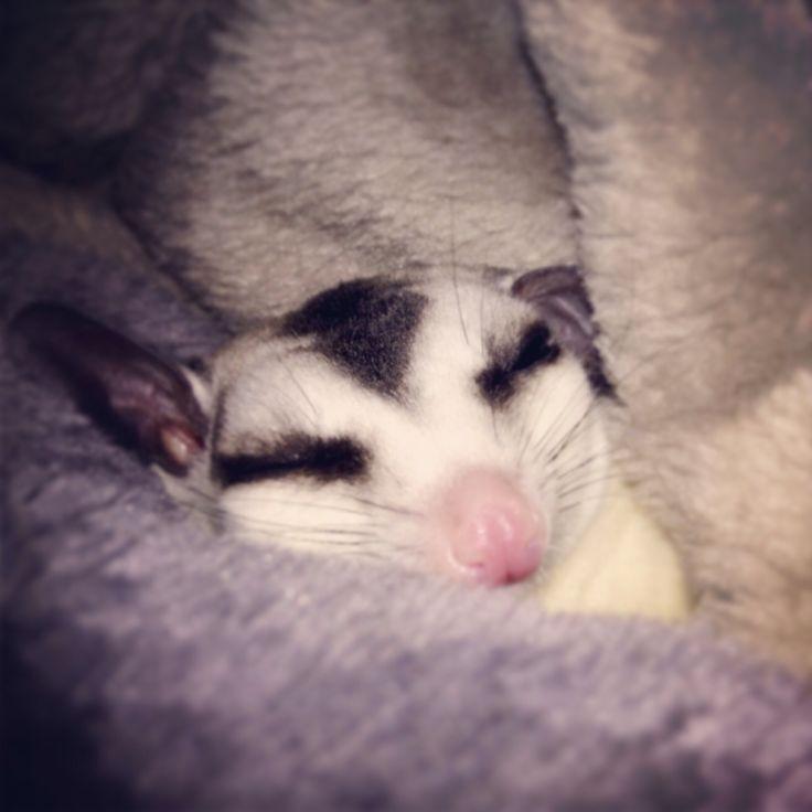 Sugar glider sleeping