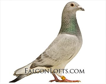 Rare Colored Homing Pigeons for Sale