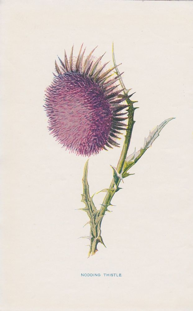 1897 antique Nodding Thistle flower lithograph print by Hulme.