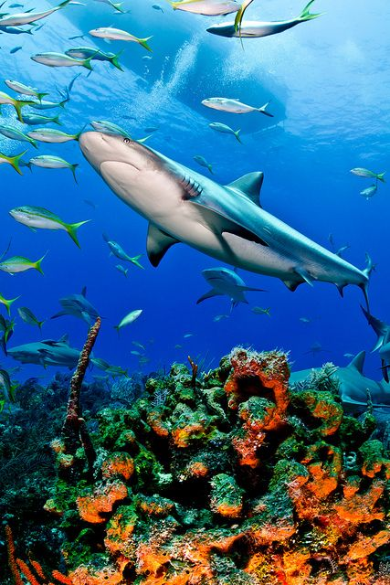 Caribbean Reef Shark   Caribbean reefs look much different than other reefs of the world. This is because when N America slammed into S America, the isthmus of Panama blocked the exchange of animals, water and plants between the tropical Atlantic and Pacific.-The Ocean of Life