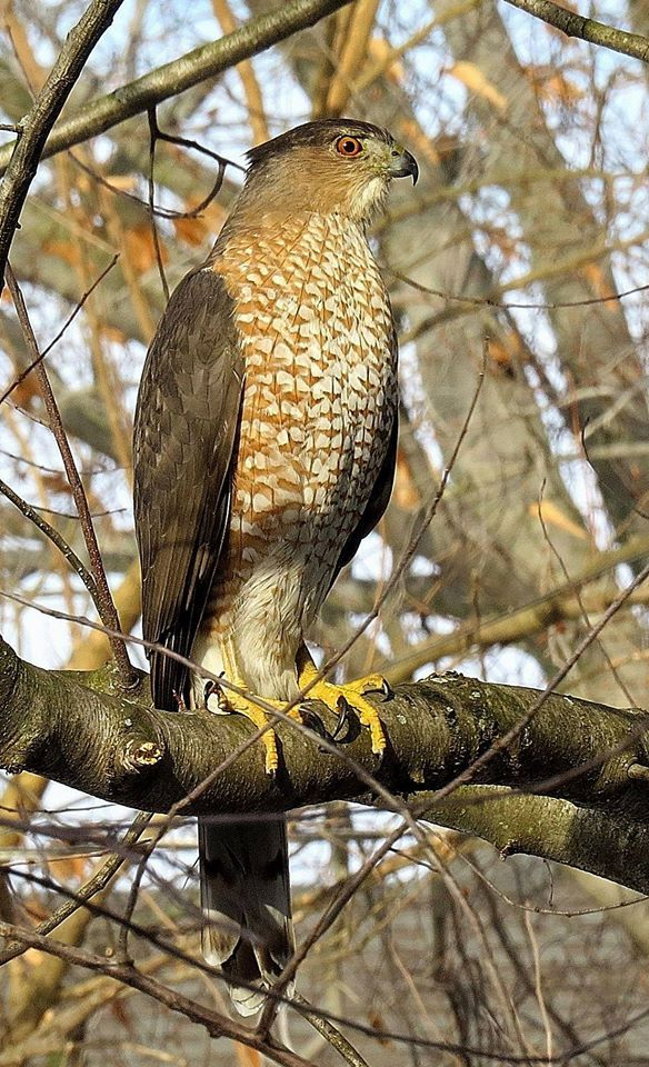The Cooper's Hawk - a medium-sized hawk found from S Canada thru the U.S. into N Mexico, sometimes migrates as far south as Panama. It feeds mostly on birds and small mammals. Of the 3 bird-eating Accipiter hawks, Cooper's is the mid-sized species and the most widespread as a nesting bird south of Canada.