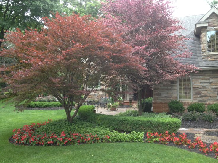 Tri Color Beech Tree For Sale