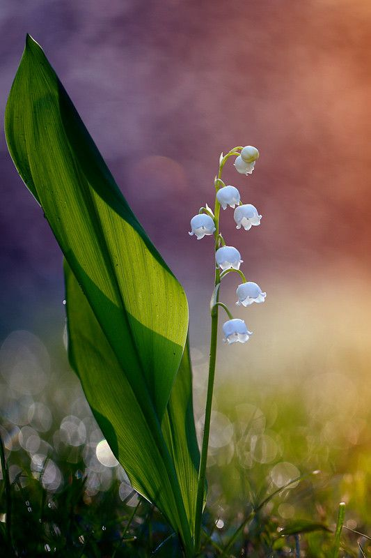 Lily of the Valley by Krzysztof Winnik…[500px][denlArt]
