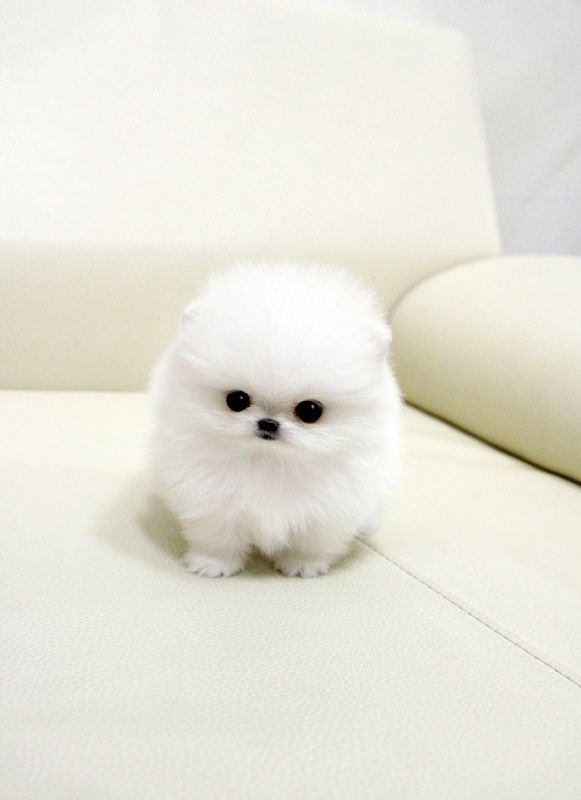 White Teacup Pomeranian Puppy A Snowball Too Cute For Words