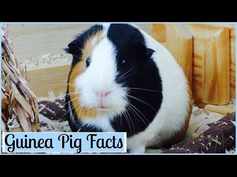 10 Interesting Facts About Guinea Pigs - YouTube