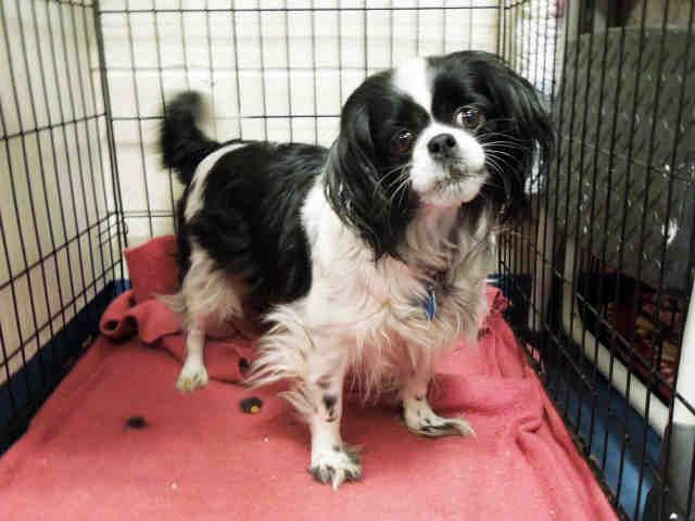 Chilier dog for Adoption in Hampton Bays, NY. ADN-469679 on PuppyFinder.com Gender: Female. Age: Adult