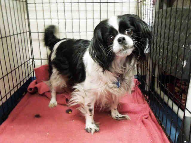 Chilier dog for Adoption in Hampton Bays, NY. ADN-469679 on PuppyFinder.com Gender: Female. Age: Adult