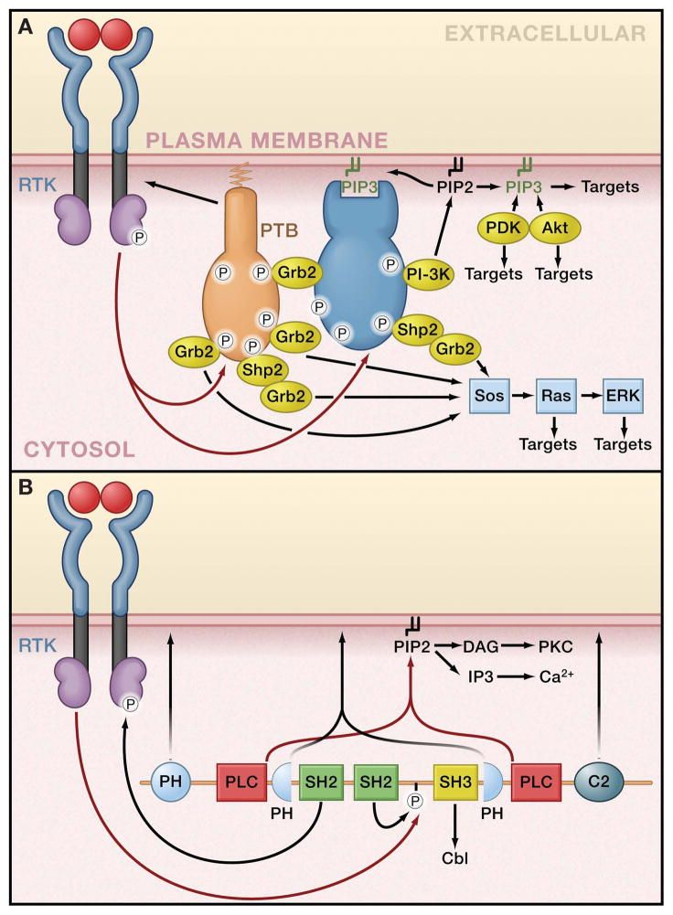 Signaling Cascade of Receptor Tyrosine Kinase