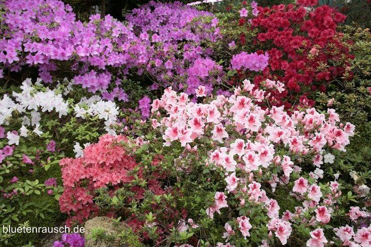Bei Azaleen handelt es sich um verschiedene Sorten der Gattung Rhododendron. Die Blütezeit ist von Mai bis Juni in Gelb, Orange sowie Rot- und Violetttöne.