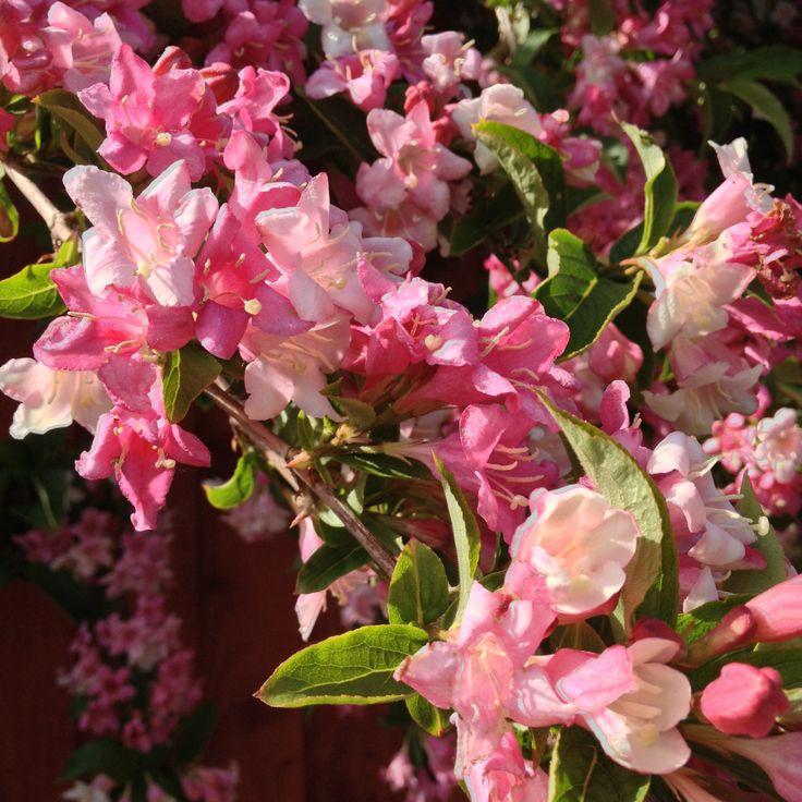 flowering bush #pink blossoms