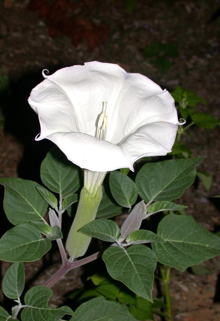 Weeds in flower beds with potato like roots - Jimson Weed Datura Is In The Nightshade Family And Tea Made From The