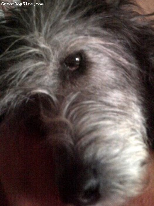 Irish Wolfhound, 6 years, brindle, Has survived acute pneumonia and is now happy and playful like a young dog- Face