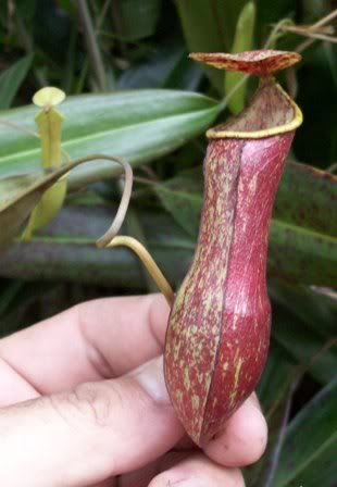 Nepenthes Neglecta Bercak