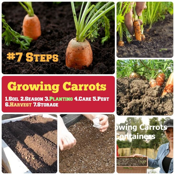 1000 Ideas About Growing Carrots From Seed On Pinterest Growing Carrots Easy Vegetables To