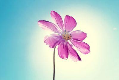Purple magenta flower