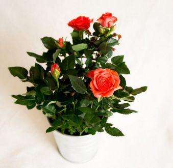 Королева цветов: как ухаживать за комнатной розой