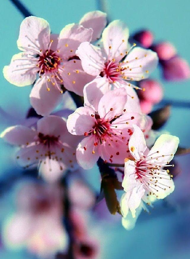 springtime cherry blossoms – #blossoms #Cherry #ch…