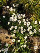 430129 - Arctic chrysanthemum (Arctanthemum coronarium syn. Chrysanthemum coronarium)