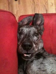 Lily is an adoptable Great Dane Dog in Stafford, VA. Name: Lily Age: 7 years Gender: Female Weight: 105# Spayed or Neutered: Spayed    Shots: Up to date Heartworm: NEG Lyme: NEG Allergies: Food all...