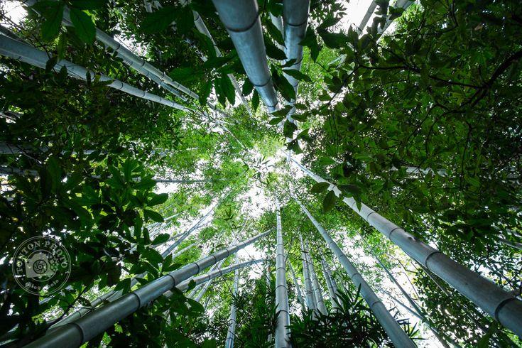 Dans la bambouseraie de Kyoto, Japon  © Clément Racineux / Tonton Photo