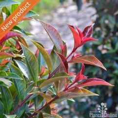 Syzygium australe 'Winter Lights'. Fiery red new growth after pruning. Unique conical/christmas tree shaped growth habit,