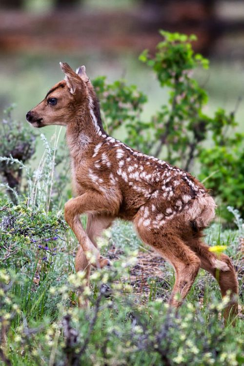 Fawn - Bravely Exploring the New World by: Richard Hahn