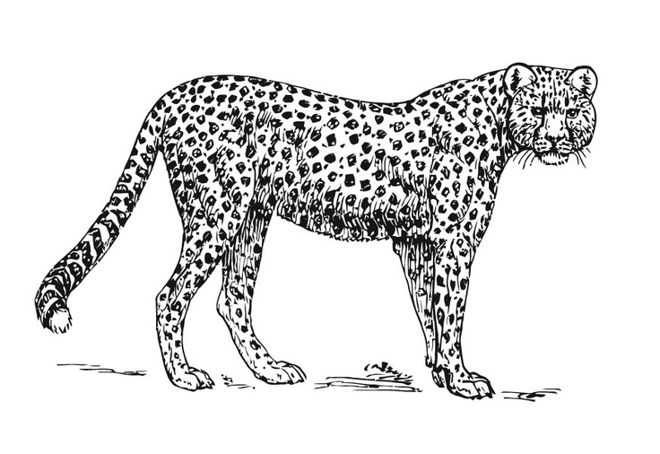 Cheetah drawings with color - photo#17
