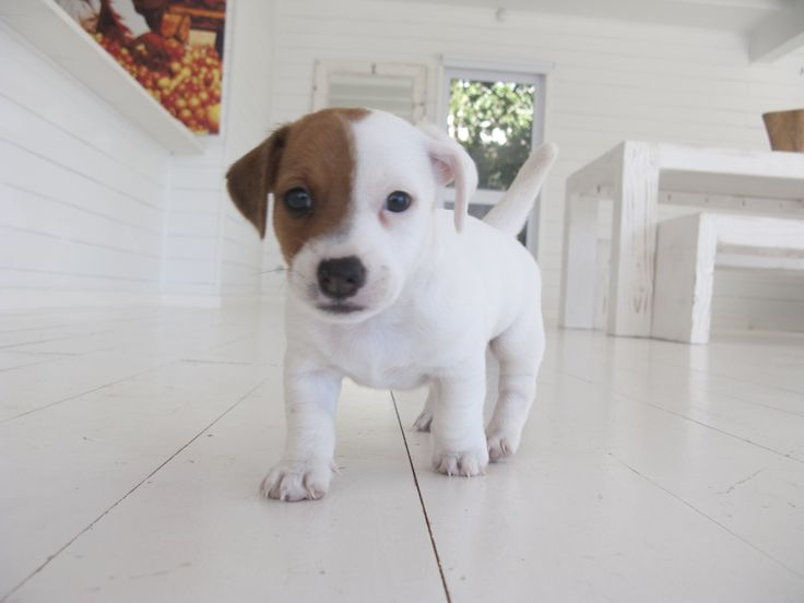 Jack Russell coming to kiss you!
